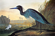 Zoology Prints - Audubon: Little Blue Heron Print by Granger