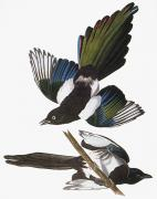 Black-billed Framed Prints - Audubon: Magpie Framed Print by Granger