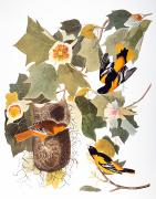 Naturalist Photo Posters - Audubon: Oriole Poster by Granger