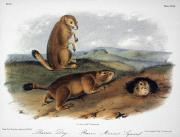 Prairie Dog Framed Prints - Audubon: Prairie Dog, 1844 Framed Print by Granger
