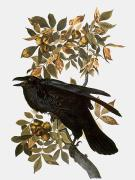 Birds Prints - Audubon: Raven Print by Granger