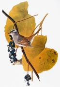 Naturalist Photo Posters - Audubon: Sparrow Poster by Granger