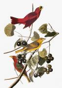 Flk Framed Prints - Audubon: Tanager Framed Print by Granger