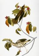 Thrush Framed Prints - Audubon: Thrush Framed Print by Granger