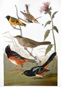 Bunting Framed Prints - Audubon: Various Birds Framed Print by Granger