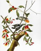 Woodpecker Art - Audubon: Woodpecker, 1827 by Granger