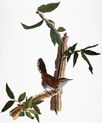 Bewick Photos - Audubon: Wren, (1827-38) by Granger