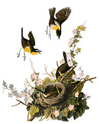 Chat Photo Posters - Audubon: Yellow Chat, (1827-38) Poster by Granger