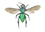 Sweat Prints - Augochlora Sweat Bee Print by Lawrence Lawry
