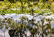 Reflections Of Trees In River Metal Prints - August Reflections Metal Print by Rachel Cohen