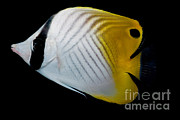 Auriga Framed Prints - Auriga Butterfly Fish Framed Print by Danté Fenolio