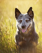 Cattle Dog Posters - Australian Cattle Dog Poster by Jeffrey L. Jaquish ZingPix