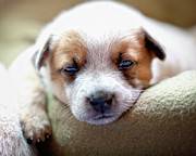 Tired Photo Posters - Australian Cattle Puppy Poster by Jeffrey L. Jaquish ZingPix.com