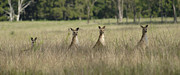 Australian Wildlife Prints - Australian Kangaroos  Print by Bob Christopher