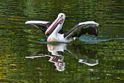 Perth Zoo Prints - Australian Pelican Print by Chris ODonoghue
