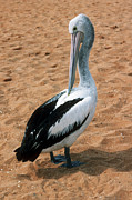 Shark Bay Prints - Australian Pelican Print by Georgette Douwma