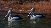 Australian Photos - Australian Pelicans by Blair Stuart