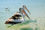 Shark Bay Prints - Australian Pelicans Print by Georgette Douwma
