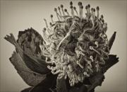 Pincushion Flower Prints - Australian Pincushion 2 Print by Robert Ullmann