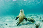 Funny Animals Posters - Australian Sea Lion Poster by Michael P ONeill and Photo Researchers