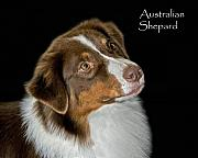 Australian Animal Framed Prints - Australian Shepard Framed Print by Larry Linton