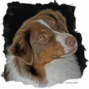 Akc Framed Prints - Australian Shepherd Framed Print by Larry Linton