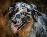 Aussie Framed Prints - Australian Shepherd Portrait Framed Print by Jai Johnson