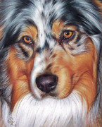 Close-up Portrait Posters - Australian Shepherd Poster by Yelena Kolotusha