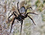 Spider Species Framed Prints - Australian Spider Badumna Longinqua Framed Print by Chriss Pagani