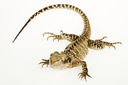Water Dragon Prints - Australian Water Dragon (physignathus Lesueurii), White Background Print by Martin Harvey