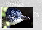 Australia Digital Art - Australian Wildlife - Little Penguin by Holly Kempe
