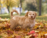 Tree Leaf Posters - Austria, Dog Standing On Autumn Leaf Poster by Westend61