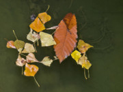 Autumn Leaf On Water Photos - Autumn 1 by Kenton Smith