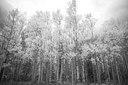 Autumn Prints Prints - Autumn Aspen Gold Boulder County Colorado BW Print by James Bo Insogna