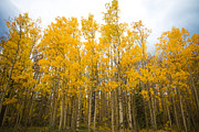 Autumn Prints Prints - Autumn Aspen Gold Boulder County Colorado Print by James Bo Insogna