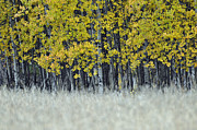 West Glacier Posters - Autumn Aspen Grove Near Glacier National Park Poster by Bruce Gourley