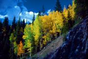 Colorado Aspen Prints - Autumn Aspen Print by John Foote