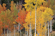 Colorado Aspen Prints - Autumn Aspen Trees Print by David Nunuk