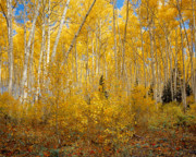 Mountains Posters - Autumn Aspens Poster by Leland Howard