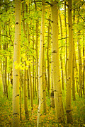 Home Walls Art Prints - Autumn Aspens Vertical Image  Print by James Bo Insogna