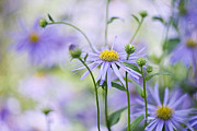 Asters Metal Prints - Autumn Asters Metal Print by Jacky Parker