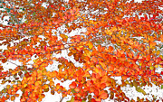 Kathie Mccurdy Prints - Autumn Barberry Print by Kathie McCurdy