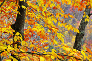 Birch River Prints - Autumn Beech Leaves  Print by Thomas R Fletcher