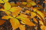 Autumn Prints Prints - Autumn Beech  Print by Michael Peychich