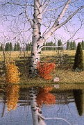 Split Rail Fence Painting Prints - Autumn Birch at the Pond Print by Conrad Mieschke