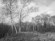 Anna Villarreal Garbis Metal Prints - Autumn Birches Metal Print by Anna Villarreal Garbis
