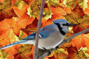 Tree Leaf On Water Mixed Media Posters - Autumn Blue Jay Poster by Debra     Vatalaro
