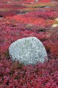 Autumn Blueberry Field Print by John Greim
