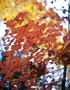 Fall Leaves Prints - Autumn Brilliance Print by Mike Reid