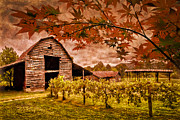 Blue Grapes Posters - Autumn Cabernet Poster by Debra and Dave Vanderlaan
